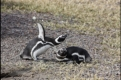 Courting Magellanic penguins, Punta Tombo, Patagonia