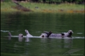Harbour seals hauling out on submerged log