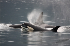 Orca female with calf