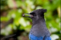 Steller's jay with Salal berry