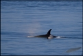 Orca with pacific whitesided dolphin (image cropped)
