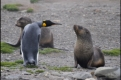King penguin checking out fur seal