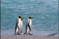 King penguins at the beach