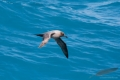 Light-mantled sooty albatross in the blue