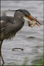 Grey heron breakfast, Germany