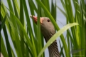 Greylag goose in the reeds, Germany