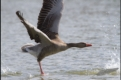Greylag goose attack, Germany