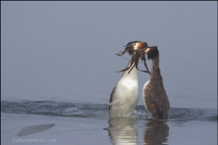 Crested grebe courtship, Germany
