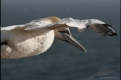 Flying gannet close-up, Germany
