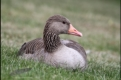 Female greylag goose, Germany