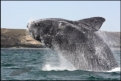 Breaching Southern right whale, Peninsula Valdez, Patagonia